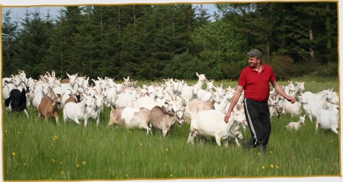 Petru leading the goats home