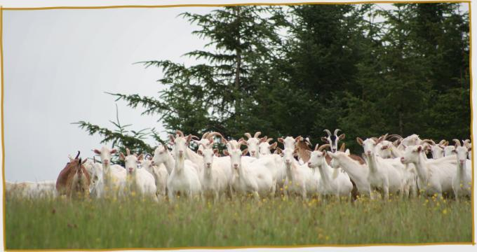 Herd of goats in meadow before trees