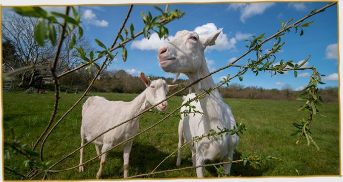 St Tola   Irish Goat Cheese